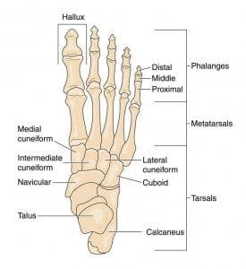 Bones of the foot diagram