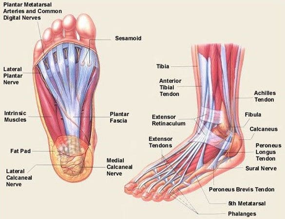 detailed anatomical foot diagram
