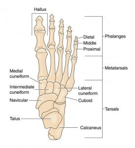 Foot anatomy diagram