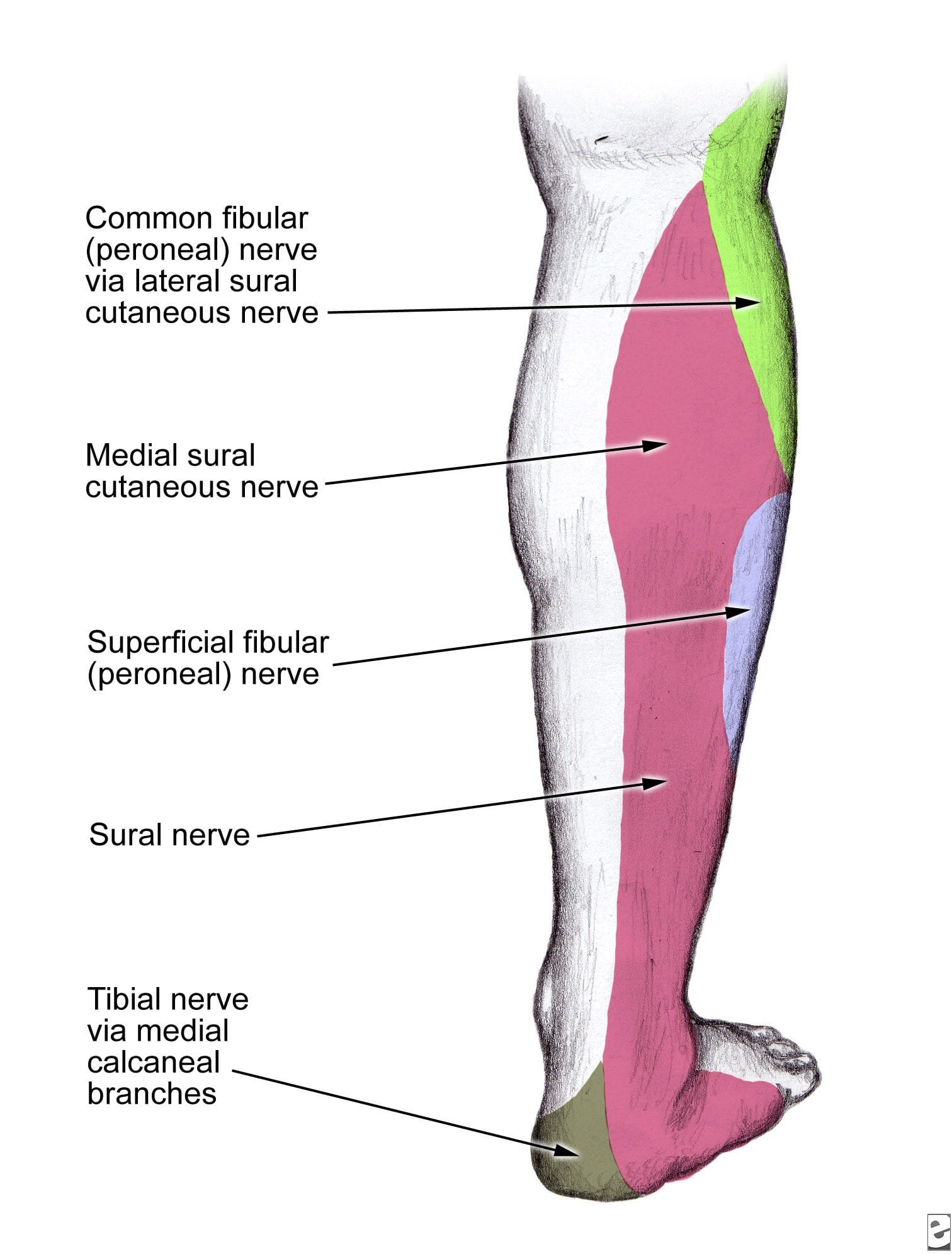 Sural nerve location diagram